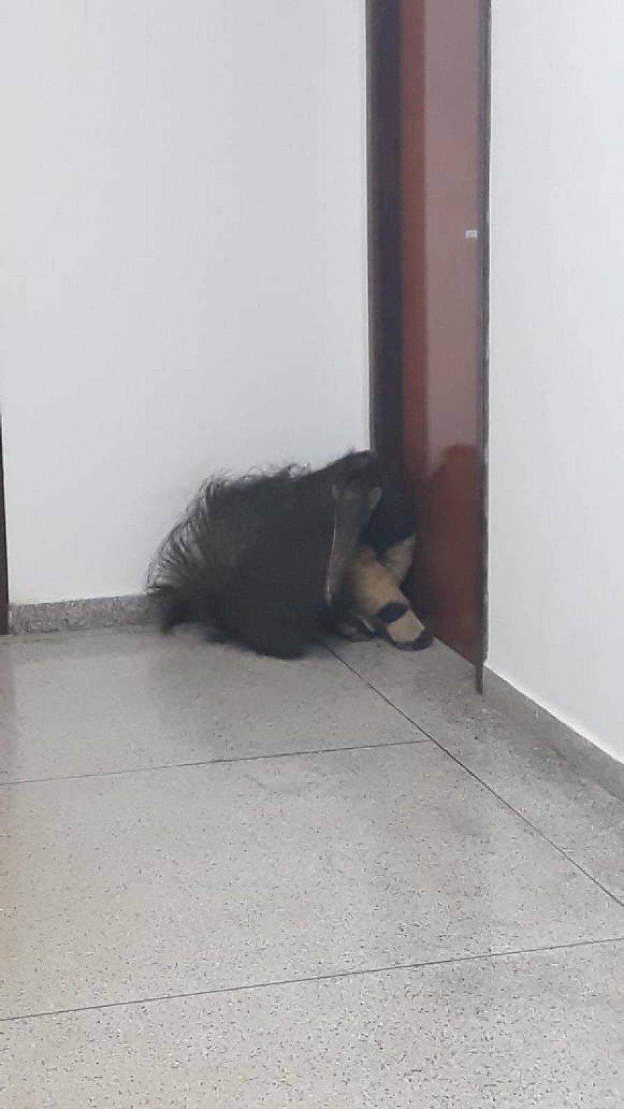 O animal estava sem ferimentos e foi solto posteriormente