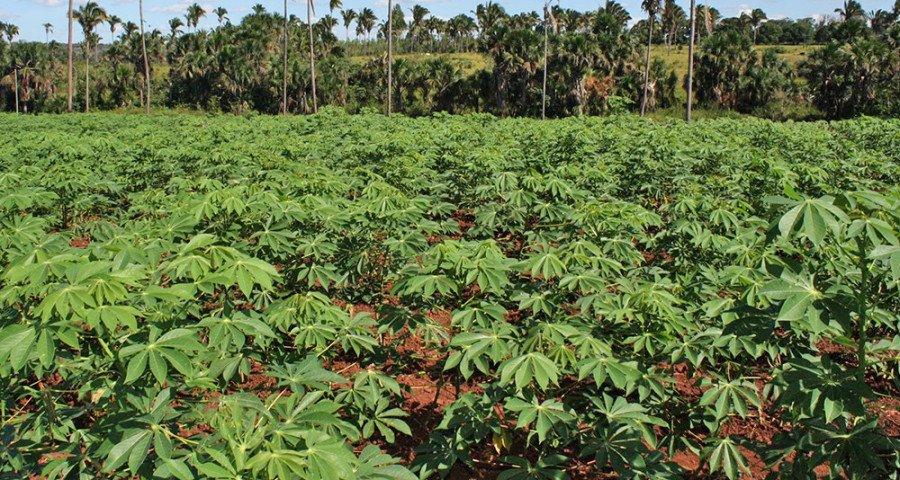 58% dos estabelecimentos agropecuários, declarados como agricultura familiar, produzem farinha de mandioca