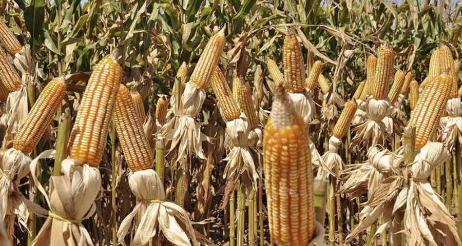 A projeção do Ministério da Agricultura para a Safra 2024/2025, é que o Tocantins alcance uma produção de 14,4 milhões de toneladas de grãos