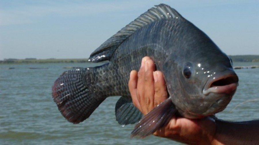 A partir de agora os piscicultores tocantinenses poderão emitir a Guia de Trânsito animal eletrônica (e-GTA) via internet