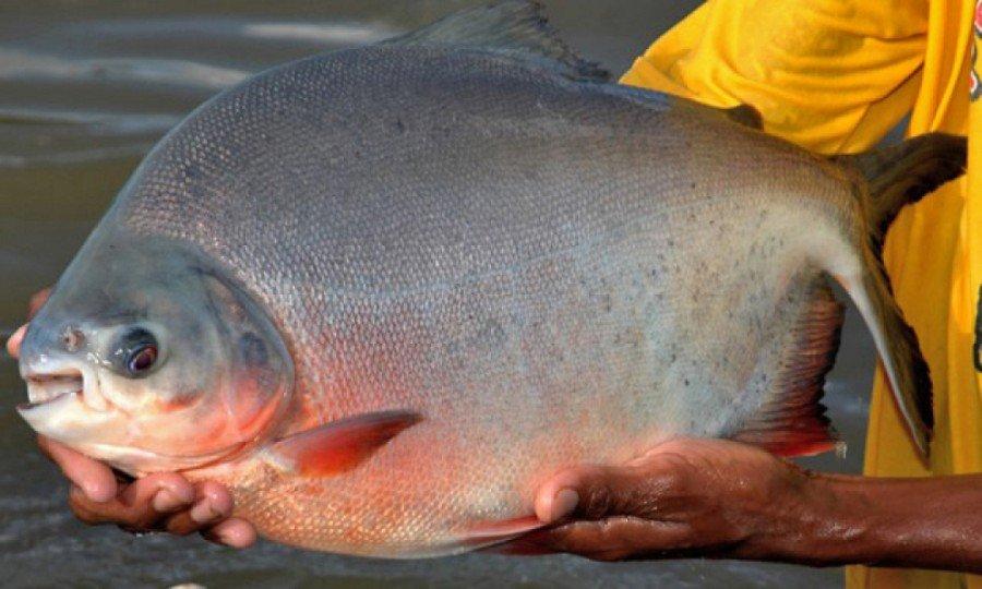 As espécies mais cultivadas são o tambaqui com 48%, seguida de peixes redondos 23,4%. Caranha, 11,4% e o surubim/pintado 10,5%
