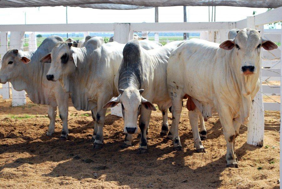 Produtor rural tem até 31 de maio para vacinar os bovídeos contra a febre aftosa